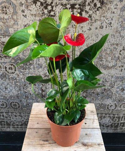Anthurium rood