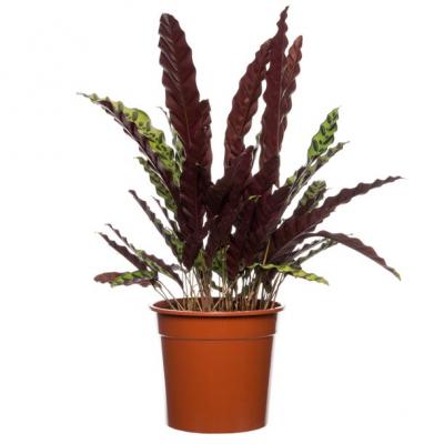 Calathea (Calathea lancifolia 'Insigne') D 20 H 50 cm