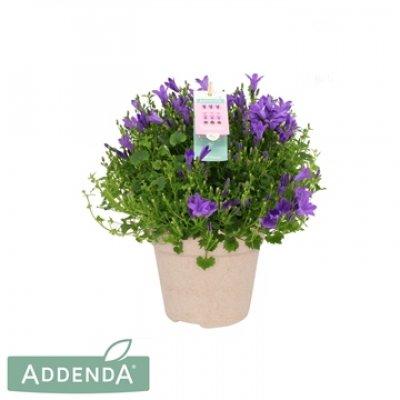 Campanula Addenda