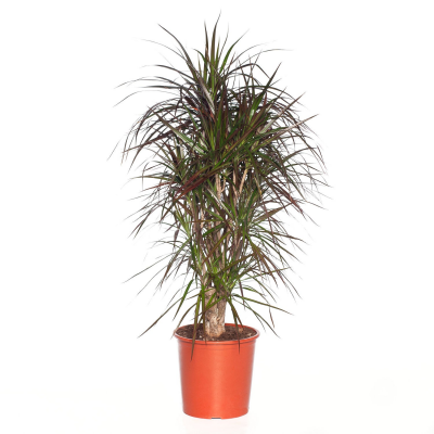 Drakenbloedboom (Dracaena marginata) D 26 H 110 cm