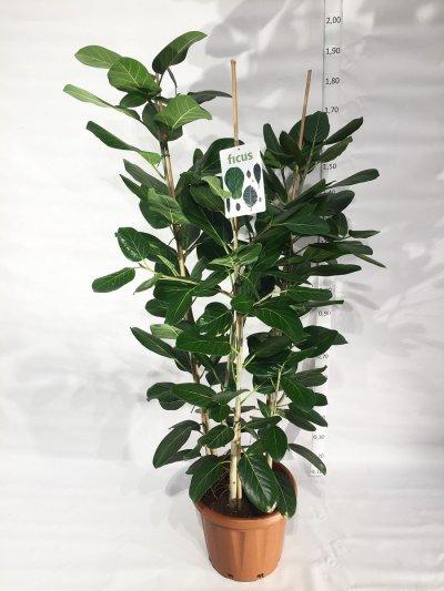 Ficus bengh. 'Audrey'