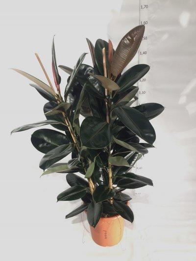 Ficus elastica 'Abidjan'