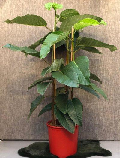 Ficus floris