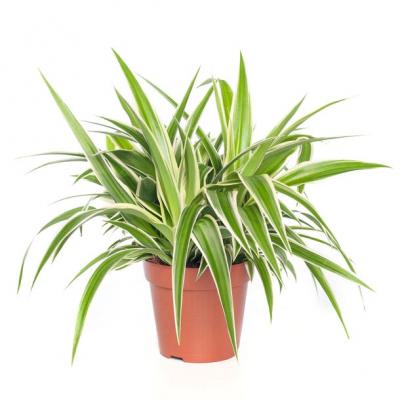 Graslelie (Chlorophytum comosum 'Ocean') D 12 H 15 cm