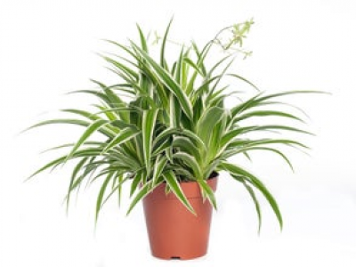Graslelie (Chlorophytum comosum 'Ocean') D 15 H 20 cm