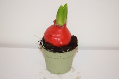 Hyacint wax Rood