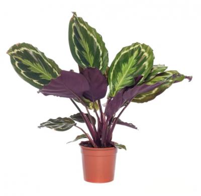 Kamerplanten - Klein