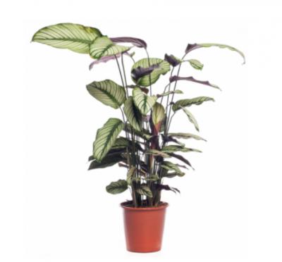Kamerplanten - Middel