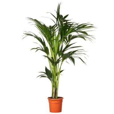 Kentiapalm (Howea forsteriana) D 20 H 140 cm