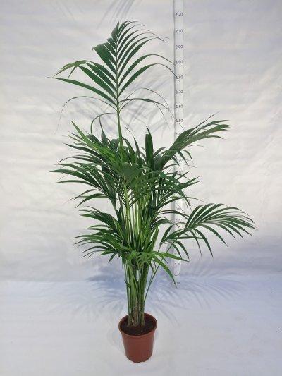 Kentiapalm (Howea (forsteriana) H170 cm D24 cm