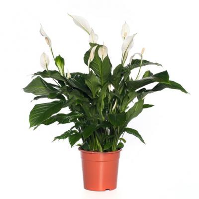 Lepelplant (Spathiphyllum 'Sweet Lauretta') D 20 H 70 cm