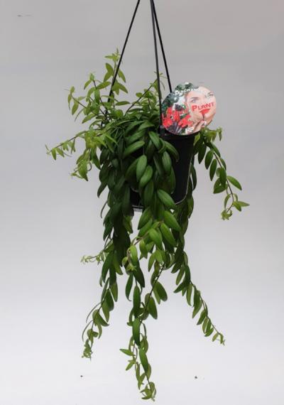 Lippenstiftplant (Aeschynanthus Japhrolepis) D15 H30