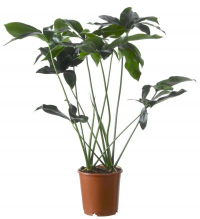 Philodendron (Philodendron 'Fun Bun') D 24 H 90 cm