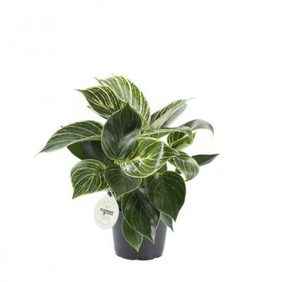 Philodendron (Philodendron 'White Measure') D 11 H 30 cm