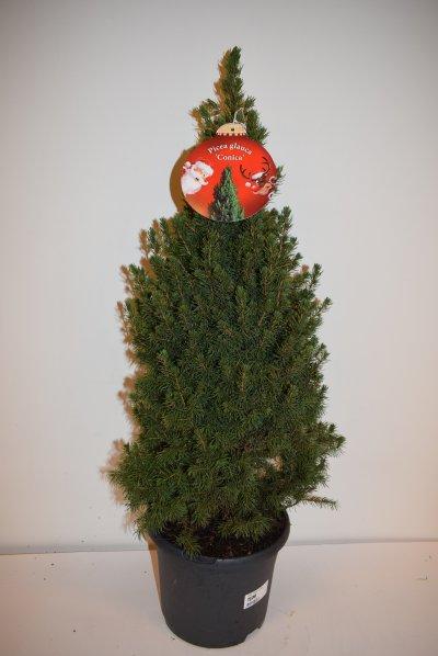 Picea 'Conica' kerstboompje