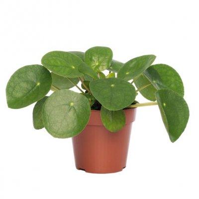 Pannenkoekenplant (Pilea peperomoides) D 12 H 20 cm