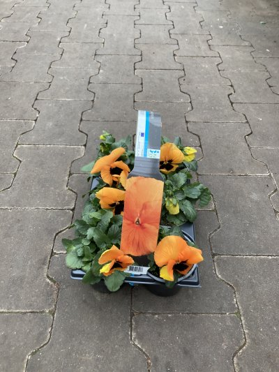 sixpack violen oranje