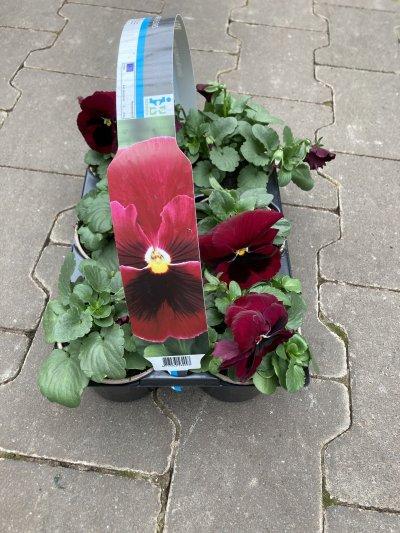sixpack violen rood