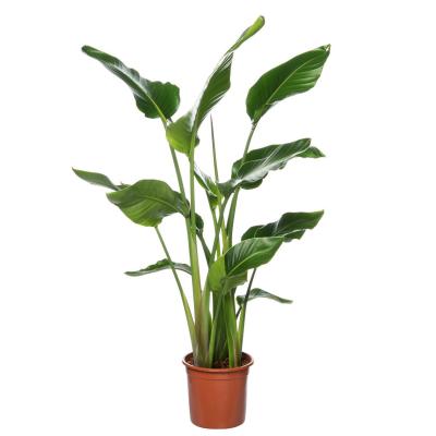 Paradijsvogelplant (Strelitzia nicolai) H160 D27 cm
