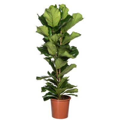 Vioolbladplant (Ficus lyrata) D 27 H 120 cm