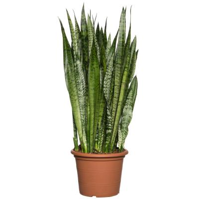 Vrouwentong (Sansevieria zeylanica) D 30 H 100 cm