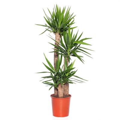 Yucca (Yucca elephantipes) D 27 H 130 cm