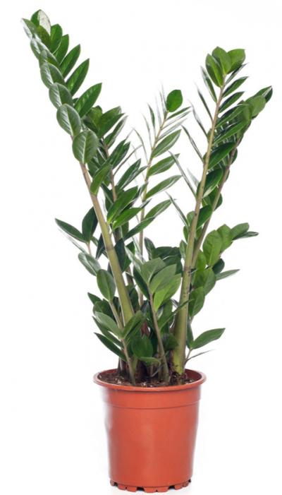 Zamioculcas (Zamioculcas zamiifolia) D 17 H 60 cm