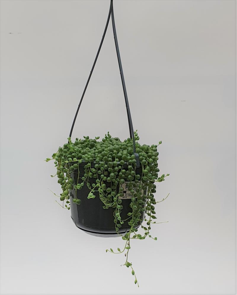 Erwtenplant Senecio Rowleyanus D16 H16