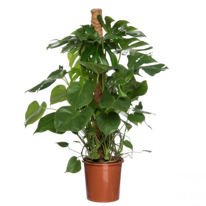 Gatenplant (Monstera delisiosa)  D24 H120