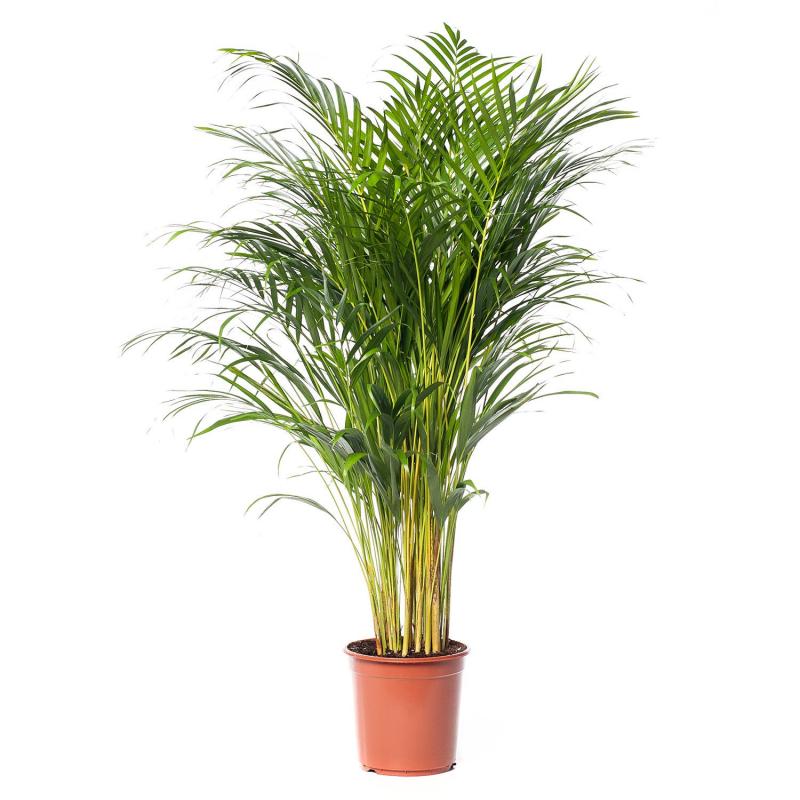 Goudpalm (Dypsis Lutescens) D24 H120 cm