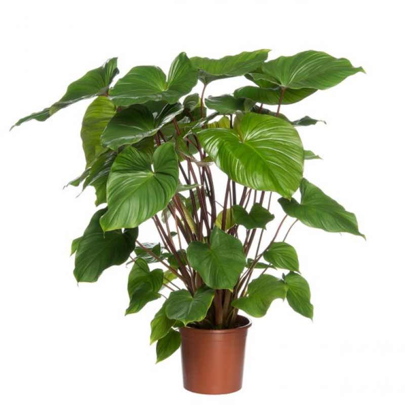 Homalomena (Homalomena rubescens 'Maggy') D 24 H 80 cm