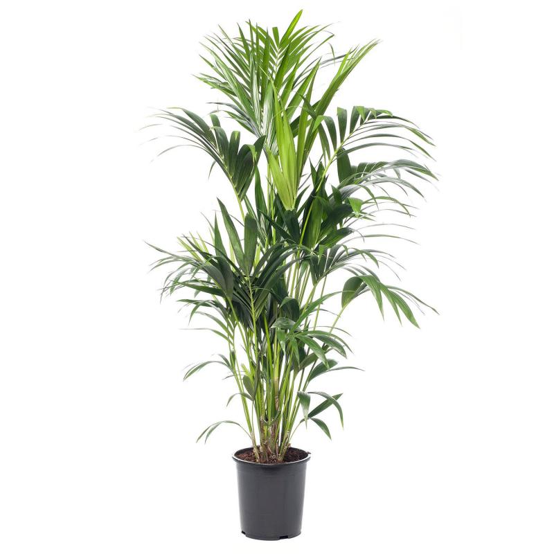 Kentiapalm (Howea forsteriana) D 24 H 160 cm