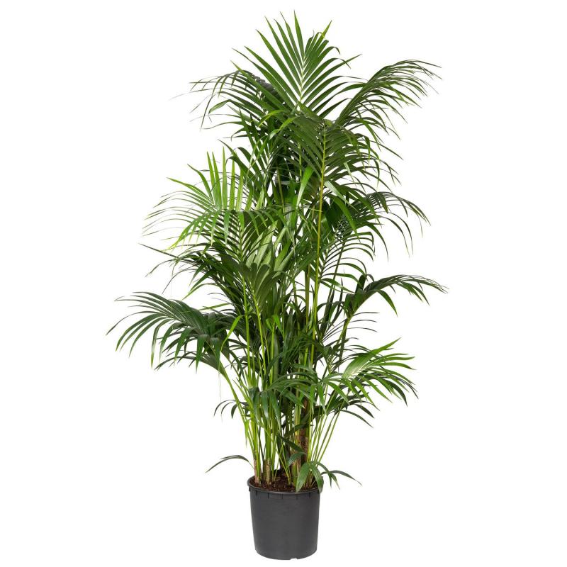Kentiapalm (Howea forsteriana) D 30 H 210 cm