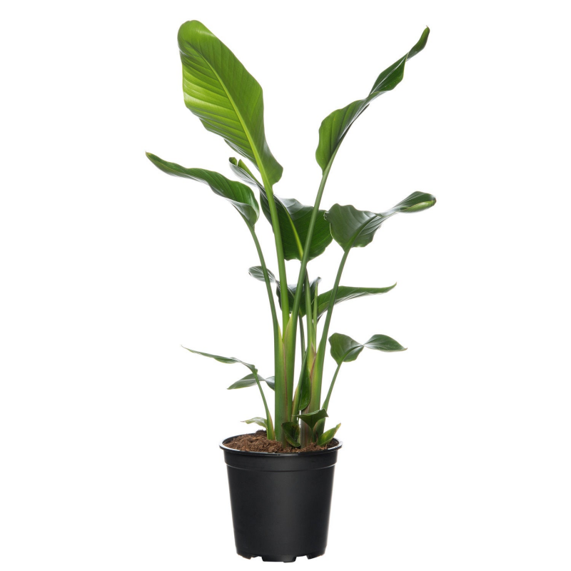 Paradijsvogelplant (Strelitzia nicolai) D 24 H 80 cm