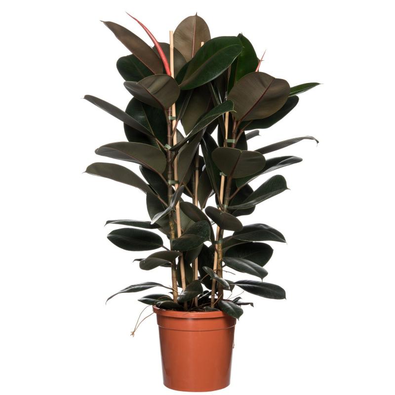 Rubberboom (Ficus elastica 'Robusta') D 37 H 150 cm