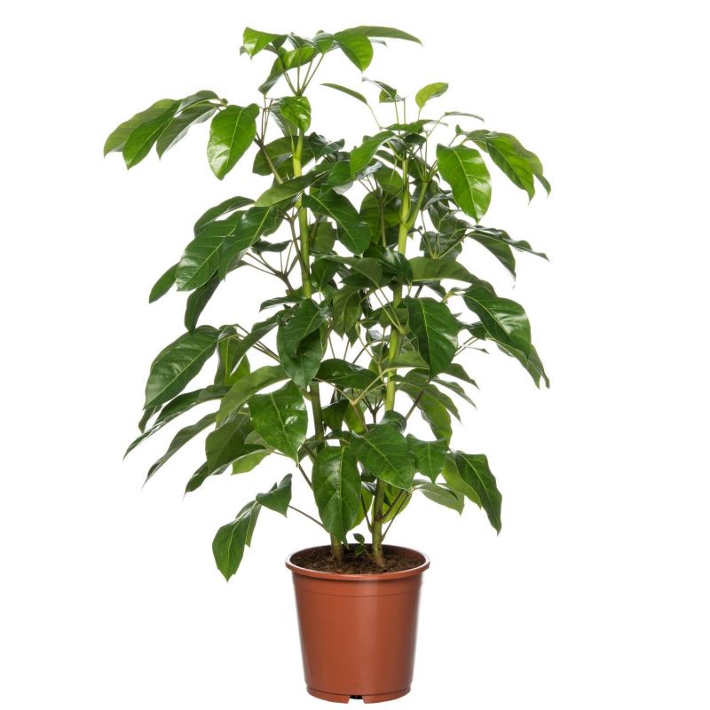 Vingersboom (Schefflera actinophylla 'Amate') D 24 H 110 cm